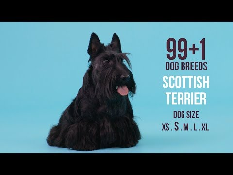 Scottish Terrier / 99+1 Dog Breeds