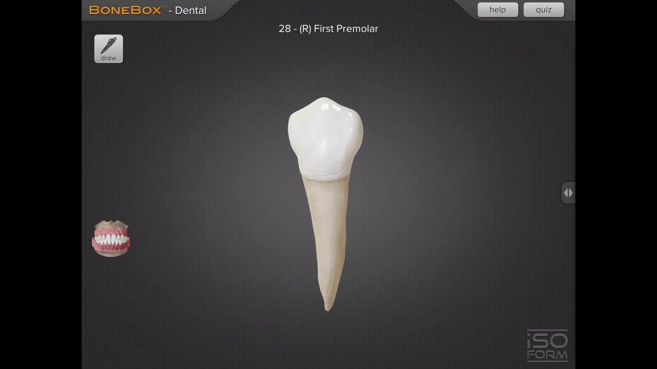 Primera premolar inferior derecho - YouTube