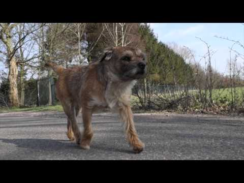 Border Terrier Jack     what a cool dude