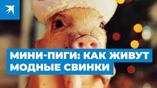 Мини-пиги: как живут модные свинки