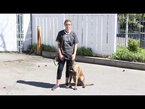 Training Tips for a Belgian Malinois