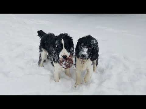 Tadashi & Hiro Playing in Chicago Snow - English Springer Spaniels