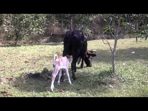 Anak Lembu Hisap Susu