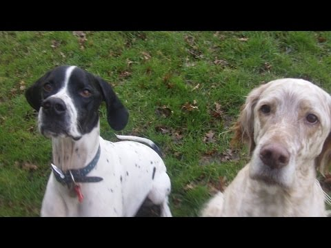 Pointer Larry & Otis English Setter in love at A & B Dogs Boarding & Training Kennels.