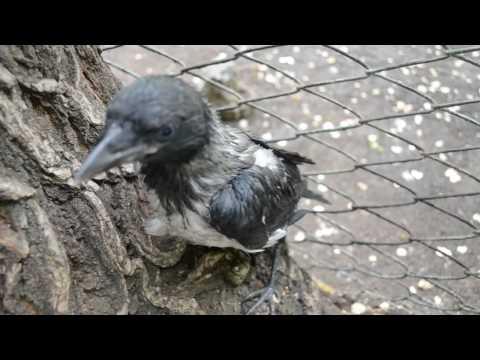 Маленький вороненок выпал из гнезда