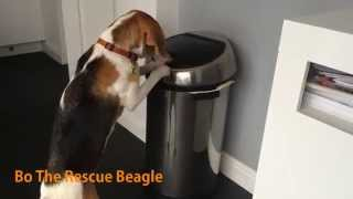 Bo The Rescue Beagle  - Funny Clever Dog Caught Stealing Food From The Bin