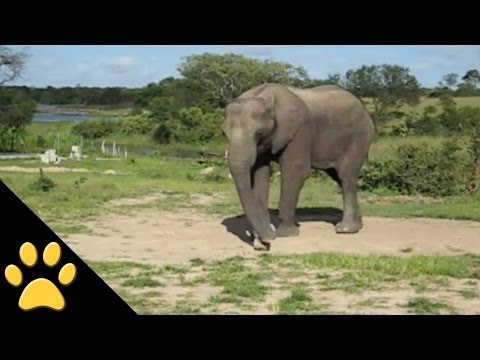 Elephants Are Awesome: Compilation