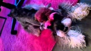テレビで活躍中のタレント犬ケリーくん。 本番中は寝てばっかり・・ で...
