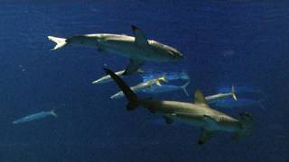 Web Extra: Great White Sharks in Captivity - KQED QUEST