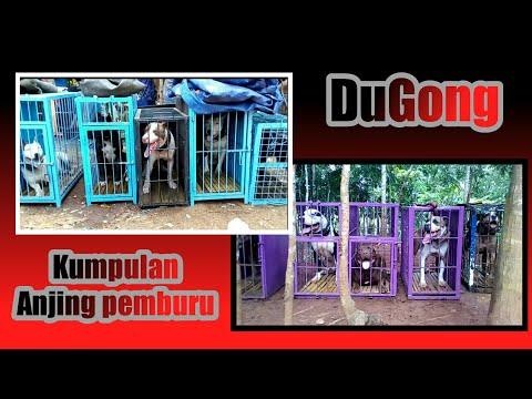Dugong sumedang 2018 (Part 1/2)...!!!Kumpulan Anjing pemburu  ak71 cup-1, cimara.