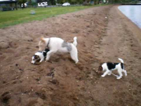 Wirehaired Fox Terrier ten week old puppies (girls) - YouTube