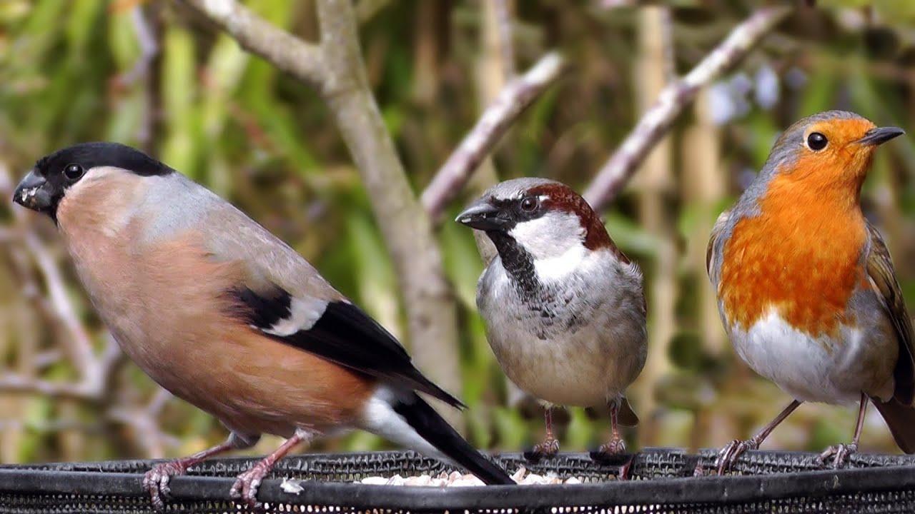 Robin European Robins British Garden Birds Chaffinch Blue Tit
