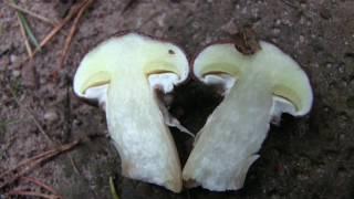 Wer kennt diesen Pilz? (Brauche Eure Hilfe bei der Pilz-Bestimmung)