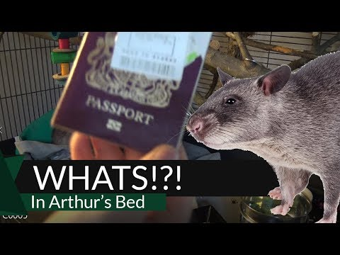 What's In Arthur's Bed? Episode 15 - Pouched Rat Bed Clean Gambian Pouched Rat
