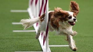 2800 собак выступили на Вестминстерском дог-шоу