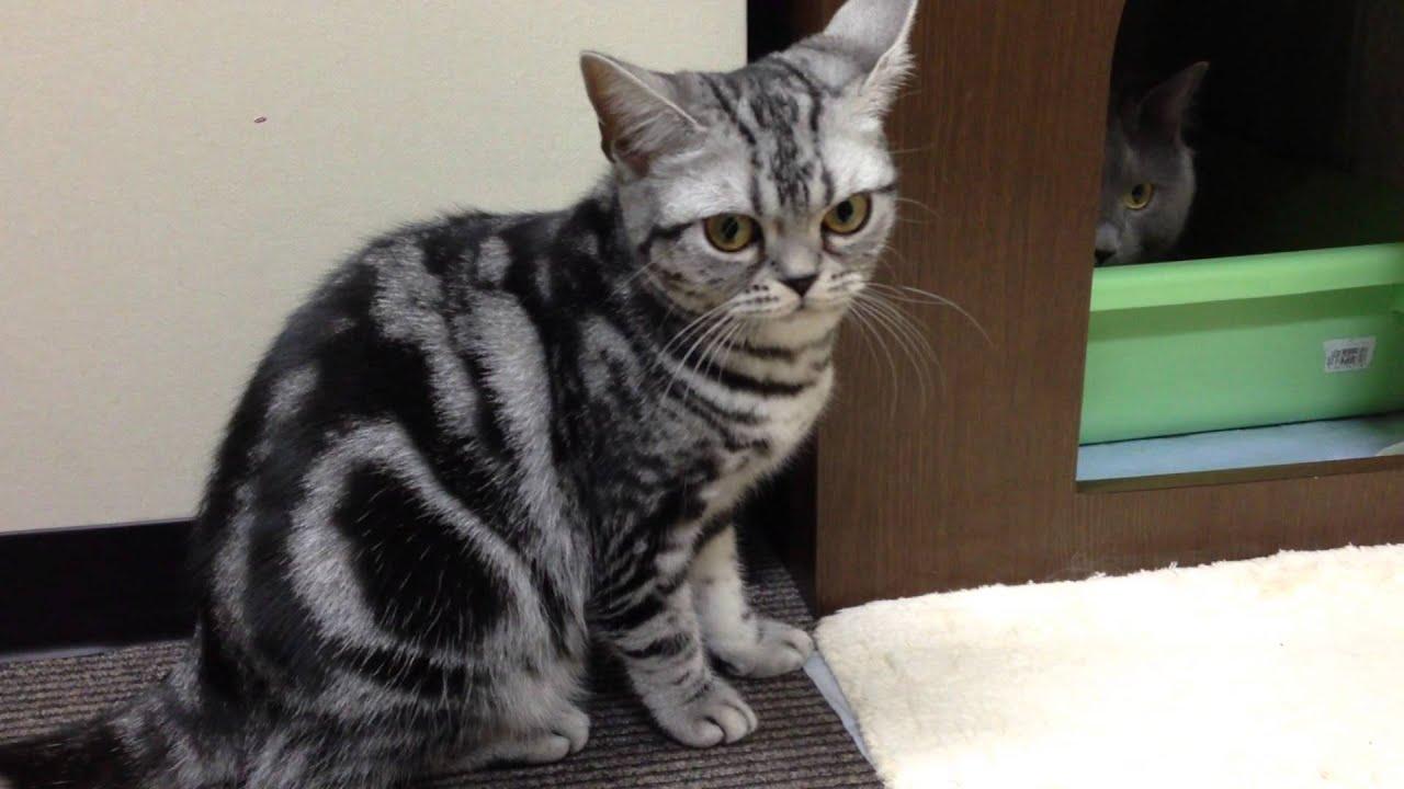 アメショー(アメリカンショートヘアー) 猫ブログ村