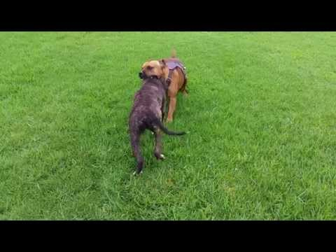 Cute Staffy - American v English Staffordshire Bull Terrier
