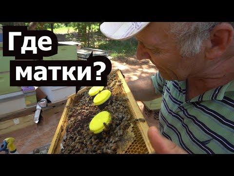 Пчёлы — Википедия