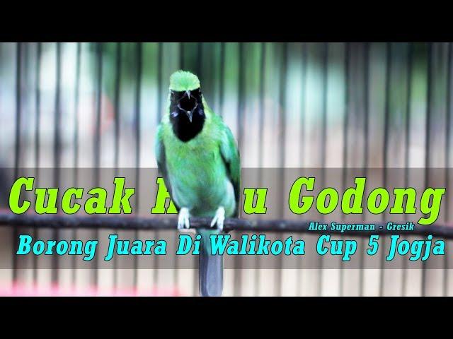 Walikota Cup V Jogja – Kacer Upin & Cucak Hijau Godong