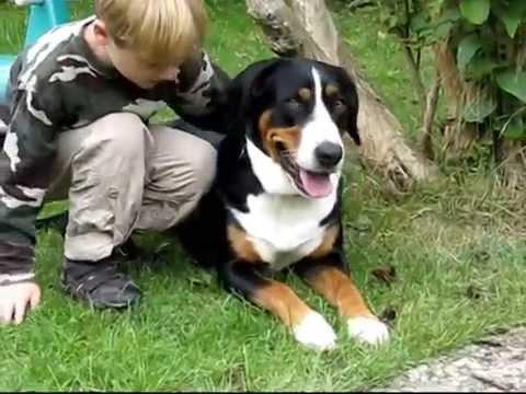 Großer Schweizer Sennenhund Greater Swiss Mountain Dog Cattle Dog Swissy