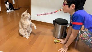 懐かしい吹き戻しで息子と遊ぶ猫がかわいい   Son and cat playing with nostalgic toys is cute.