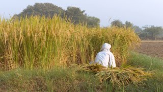 Indian farmer harvesting paddy crops in the agricultural land of Delhi/NCR, India