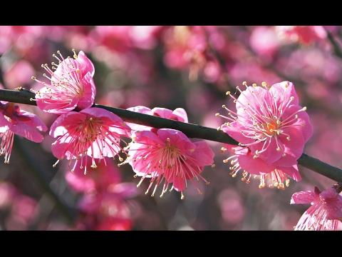 Ume Blossom in Atami - Shizuoka ᴴᴰ ● 熱海梅園 2017