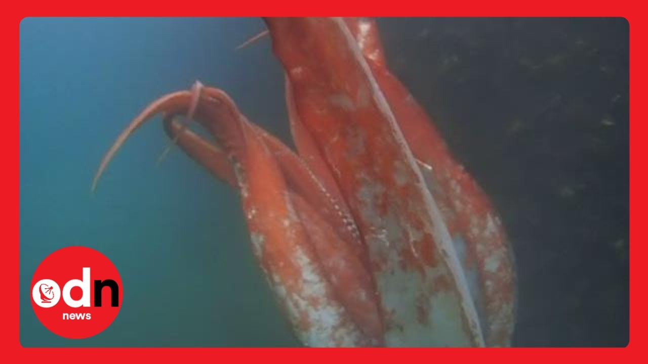 Giant squid spotted in Japanese harbour
