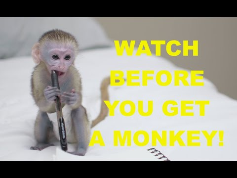 How To get a pet monkey.