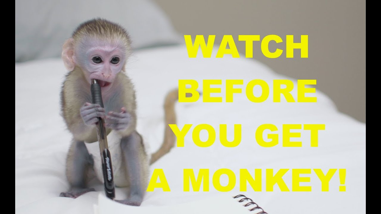 How To get a pet monkey. - YouTube