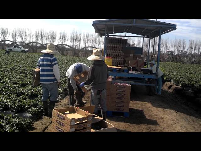 Pocket PayRoll Individual Strawberry Harvesting