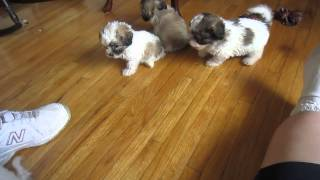 The New Littles - Bichon/poodle/shih Tzu Puppies 08.30.13
