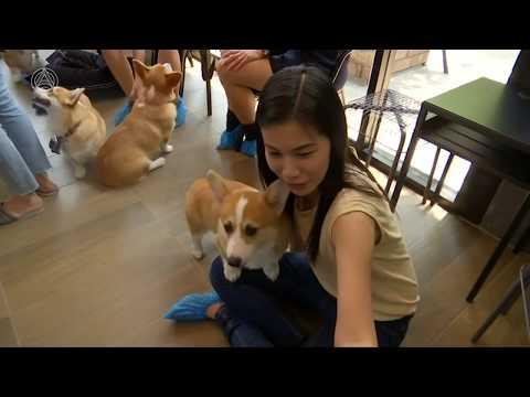 """""""Корги-кафе"""": необычный ресторан с собаками покоряет Таиланд"""