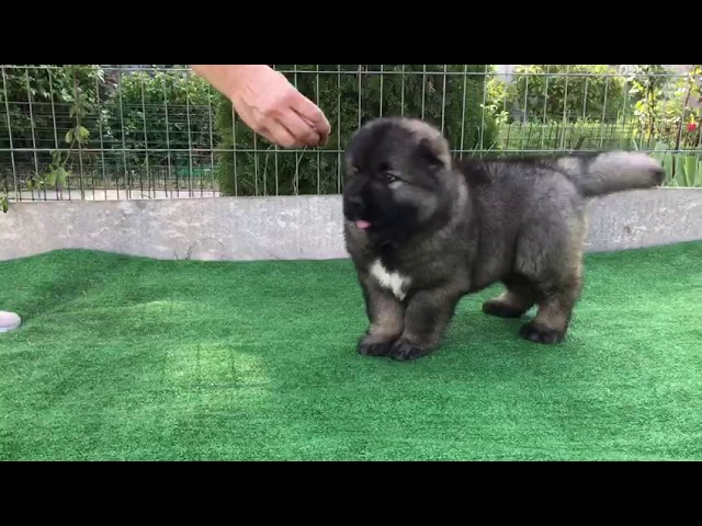Male Caucasian Shepherd #1 for sale (litter #2) video4