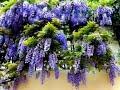 - INILAH!!  6 Cara Menanam Bunga Wisteria di Tanah dan di Kapas