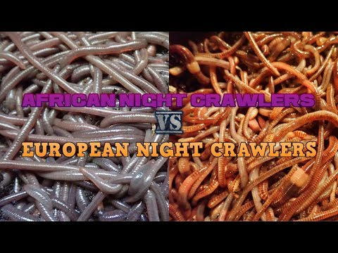 The Difference Between African And European Night Crawlers