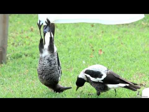 Magpie Hangs Upside Down