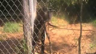 Tp003348229 Bull Arab Pedigree Pups