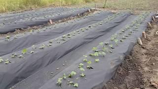 Как посадить 750 кустов клубники на агроспан, в теплице.