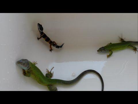 gecko Какова скорость движения геккона?
