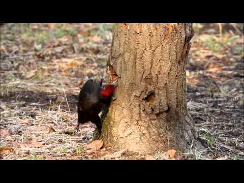 Woodpecker Compilation