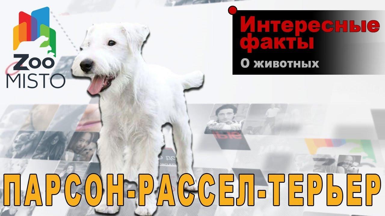Собаки и щенки породы джек-рассел-терьер. На доске объявлений olx казахстан легко и быстро можно купить щенка джека рассела. Заведи друга.