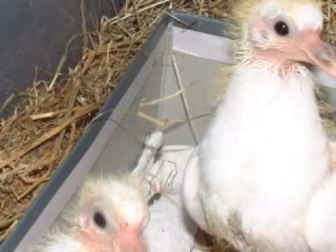 Baby White Doves (Squabs) Grow Up - YouTube