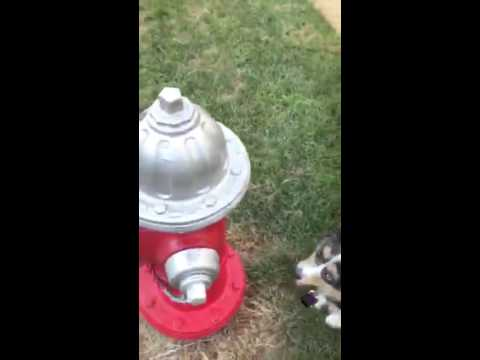 Fire Hydrant Place! Sent In By In Home Client!  Expert Dog Trainers in Virginia