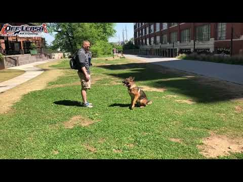 "3 Year Old German Shepherd ""Liesl"" Before/After Video | Dog Trainer Duluth Georgia"