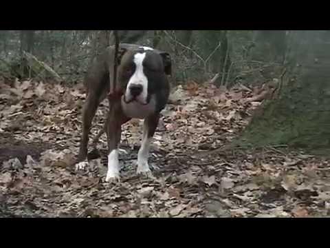 A Tyson American Staff En Forme Www Spa Forbach Fr Youtube