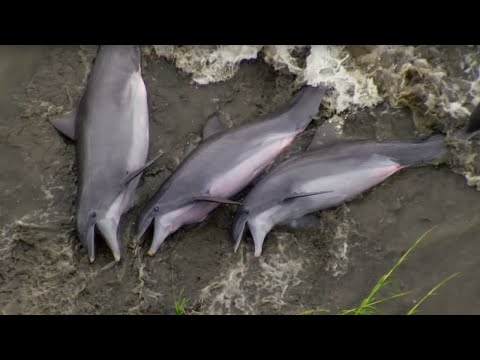 Dolphins Beach Themselves To Feed - The Hunt - BBC Earth
