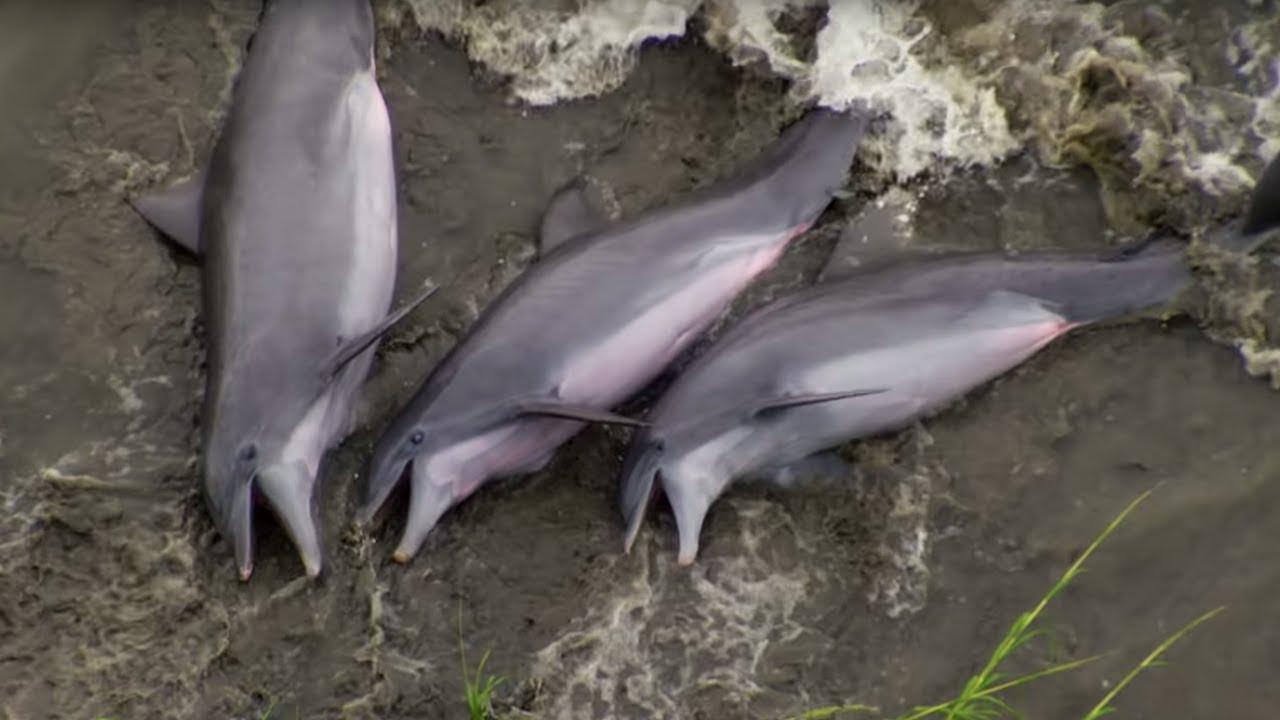 Smart Dolphins Beach their Prey | The Hunt | BBC Earth