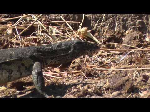 Monitor lizard on the banks of the Chobe River, Botswana, Africa.