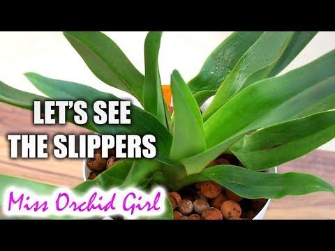 Paphiopedilum and Phragmipedium Update - The slipper Orchids!